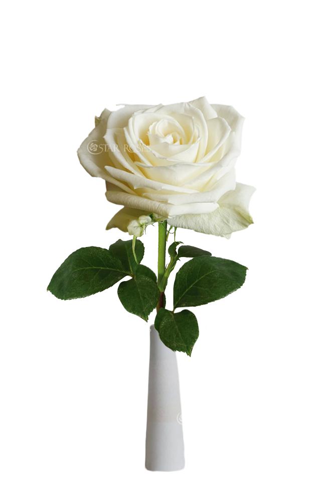 Playa Blanca - Star Roses