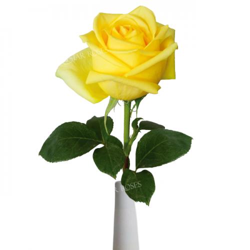 Hummer rose Star Roses
