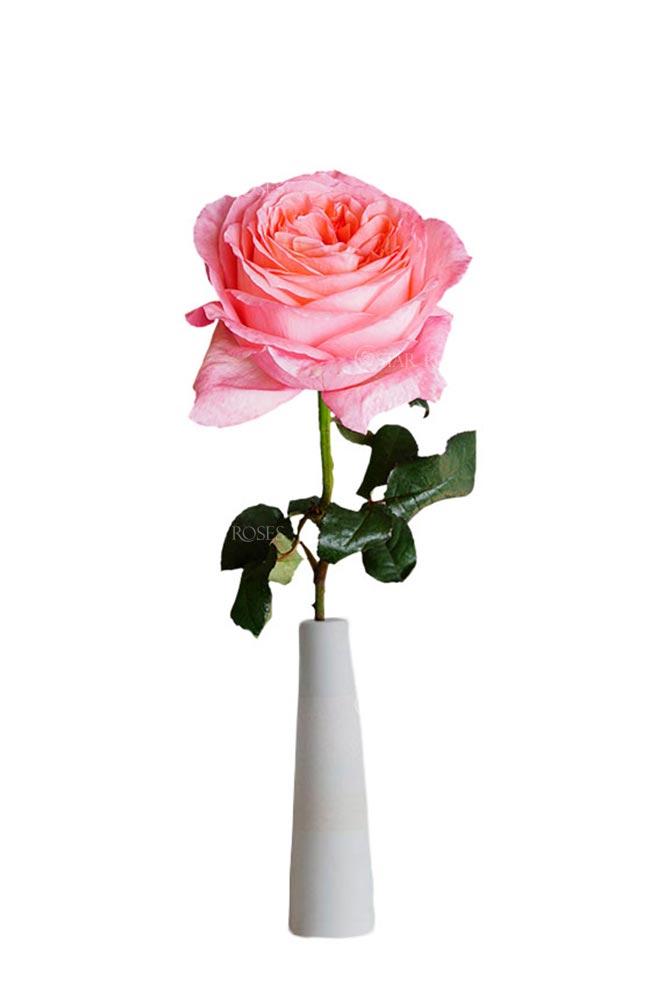 Garden Type Rose