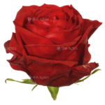 scarlatta rose - Star Roses